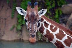 Giraffa che esamina macchina fotografica Immagine Stock