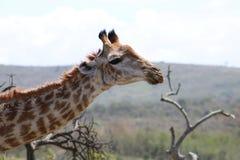 Giraffa che esamina macchina fotografica Immagini Stock Libere da Diritti