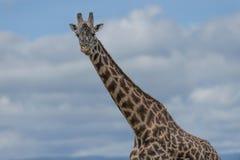 Giraffa che esamina macchina fotografica dalla destra immagine stock