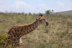 Giraffa che fa un rumore Immagine Stock