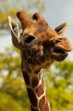 Giraffa che gode del sole Fotografia Stock Libera da Diritti