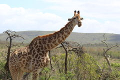 Giraffa che guarda suo circondare Fotografia Stock