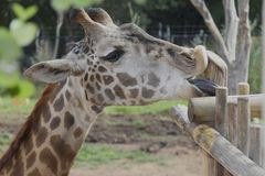 Giraffa che lecca recinto Immagini Stock Libere da Diritti