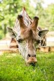 Giraffa che mangia erba verde Fotografie Stock