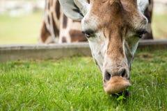 Giraffa che mangia erba verde Immagini Stock Libere da Diritti