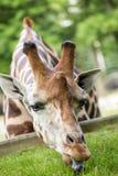 Giraffa che mangia erba verde Immagini Stock