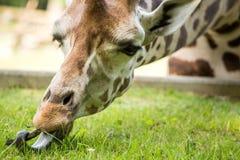 Giraffa che mangia erba verde Immagine Stock