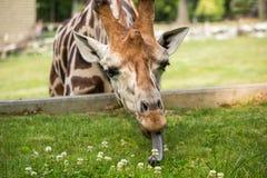 Giraffa che mangia erba verde Fotografia Stock Libera da Diritti