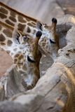 Giraffa che mangia l'alimento di grano sul legno della grondaia Fotografie Stock