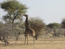 Giraffa che mangia la cima dell'albero Fotografia Stock