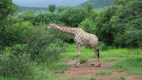 Giraffa che mangia le foglie nel parco nazionale Fotografie Stock Libere da Diritti