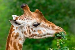 Giraffa che mastica ramo verde Immagini Stock Libere da Diritti