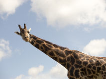 Giraffa che osserva giù Fotografie Stock Libere da Diritti