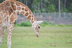 Giraffa che osserva giù fotografia stock libera da diritti