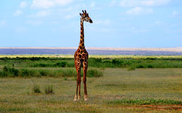 Giraffa che osserva nella savanna Fotografia Stock