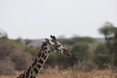 Giraffa che pasce la savana immagine stock