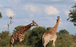 Giraffa che si alimenta dall'Africano Thorn Bush Fotografia Stock