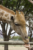 Giraffa che si alimenta dalle mani delle persone Immagini Stock Libere da Diritti