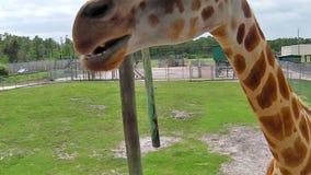 Giraffa che si alimenta in Florida stock footage