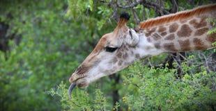 Giraffa che si alimenta l'albero dell'acacia Immagine Stock Libera da Diritti