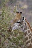 Giraffa che si alimenta nel parco nazionale di Kruger Fotografia Stock
