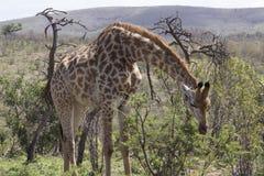 Giraffa che si china alla ricerca dell'alimento Immagine Stock