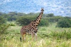Giraffa che si leva in piedi fra i cespugli dell'acacia Immagini Stock Libere da Diritti
