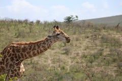 Giraffa che si muove avanti Fotografia Stock