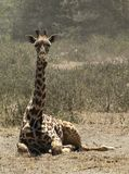 Giraffa che si siede Fotografia Stock