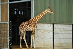 Giraffa che sta nella recinzione Fotografia Stock Libera da Diritti