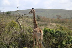 Giraffa completa Immagine Stock Libera da Diritti
