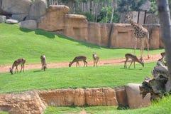 Giraffa con i deers Fotografie Stock Libere da Diritti