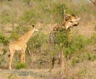 Giraffa con i giovani Fotografia Stock Libera da Diritti