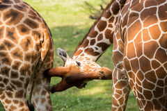 Giraffa con la sua testa giù Fotografia Stock Libera da Diritti