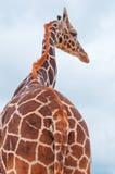 Giraffa contro il cielo blu Fotografie Stock
