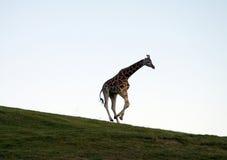 Giraffa corrente Fotografie Stock