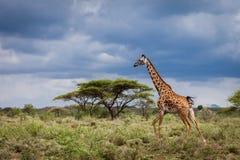 Giraffa corrente nel parco nazionale di Serengeti, Tanzania Fotografia Stock