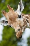 Giraffa curiosa Fotografie Stock Libere da Diritti