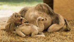 Giraffa de girafe Photographie stock libre de droits