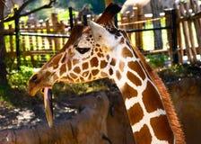 Giraffa de la jirafa con la lengua larga que cuelga abajo Imagen de archivo