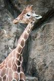 Giraffa de la jirafa en el parque zoológico de Philadelphia Fotos de archivo