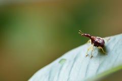 Giraffa de Trachelophorus (espèce de la Thaïlande), insecte de scarabée étant perché dessus Photographie stock
