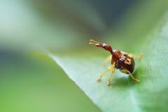 Giraffa de Trachelophorus (espèce de la Thaïlande), insecte de scarabée étant perché dessus Photo stock