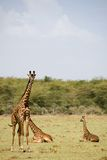 Giraffa degli animali 004 Fotografia Stock