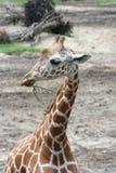 Giraffa del bambino Fotografia Stock