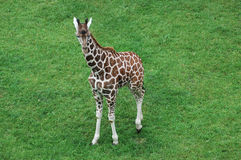 Giraffa del bambino fotografia stock libera da diritti