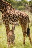 Giraffa del bambino Immagini Stock