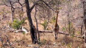 Giraffa del bambino Immagine Stock Libera da Diritti