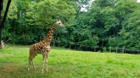 Giraffa del bambino allo zoo Immagine Stock