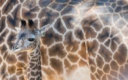 Giraffa del bambino che sta davanti alla madre Fotografia Stock